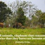 Image for the Tweet beginning: Happy #EleFunFactFriday!  Like all animals, elephants