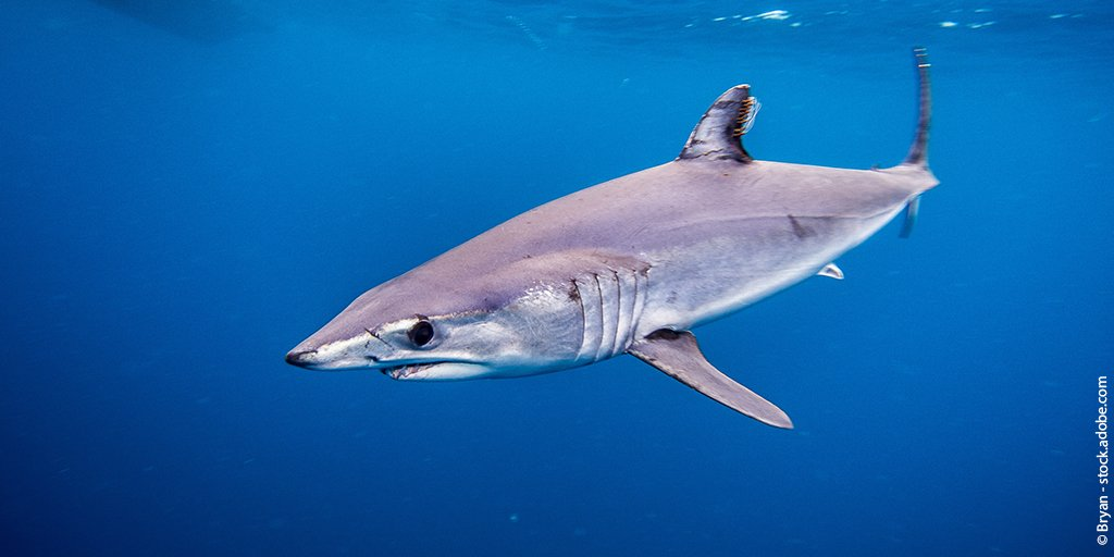"""#SharkLeague is counting on the EU -- the lead for mako landings -- to consider """"meaningful"""" as aligned w/ scientific advice, including a a N. Atlantic retention ban & bycatch mitigation, to give stock a decent chance of rebuilding w/in several decades #MakeOrBreak4Makos #ICCAT"""