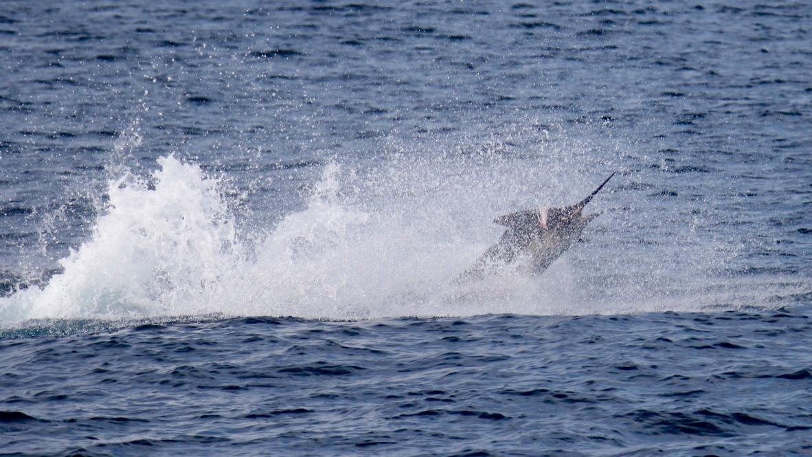 Guatemala - Capt. Brad Philipps on Decisive released a Blue Marlin and 8 Sailfish.