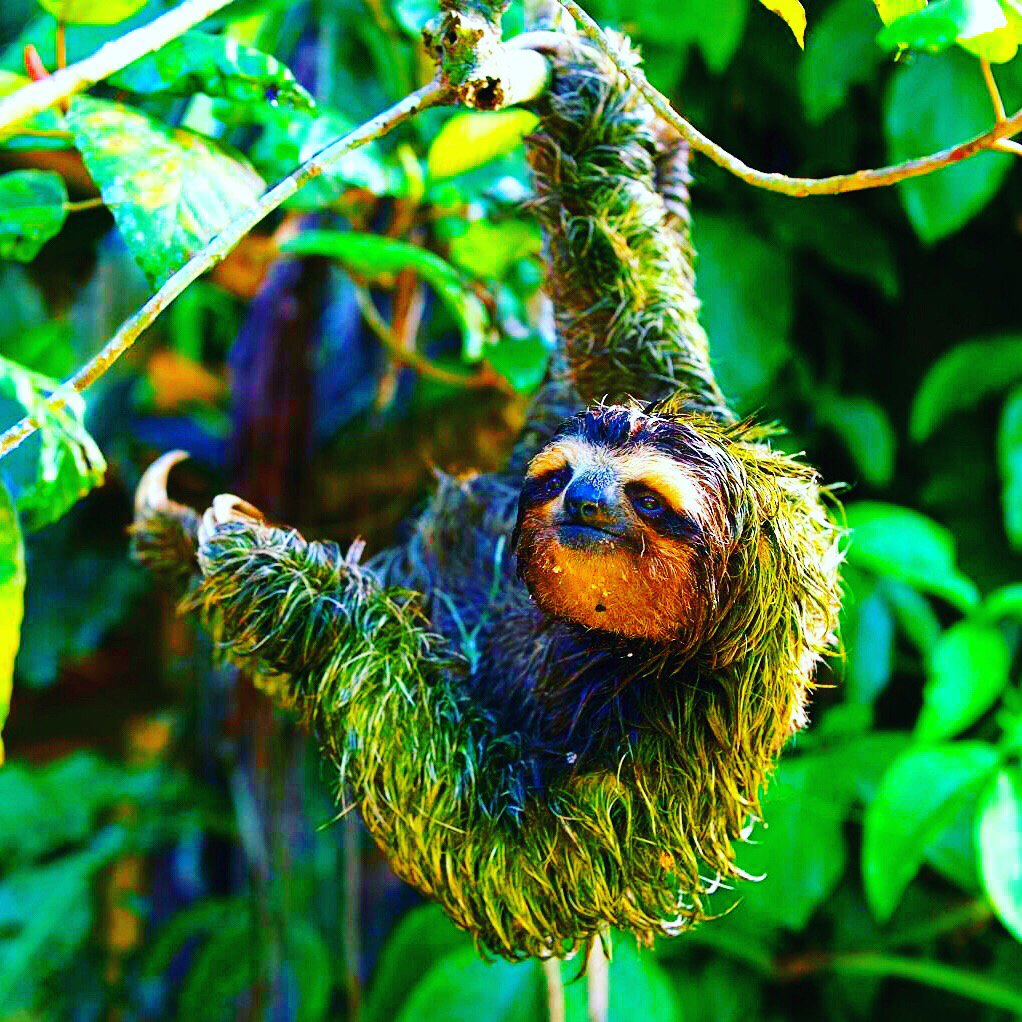 Sloths may sometimes appear to have green fur. It is caused by an algae. It is popularly assumed that sloth fur has a symbiotic relationship with green algae.⠀#sloth #jungle #animals