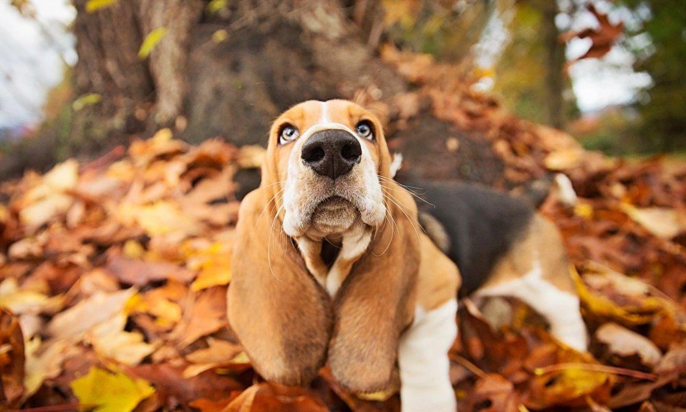 #FurryFriday: #Autumn #AutumnLeaves #AutumnColor #Dog #Dogs #BassetHound