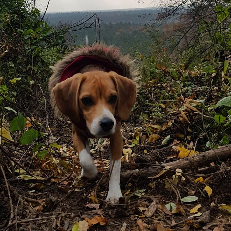Ragis from @beaglefreedom exploring Berlin's wilderness. Who could have thought that there is whole world outside the lab's walls?  #CrueltyFree