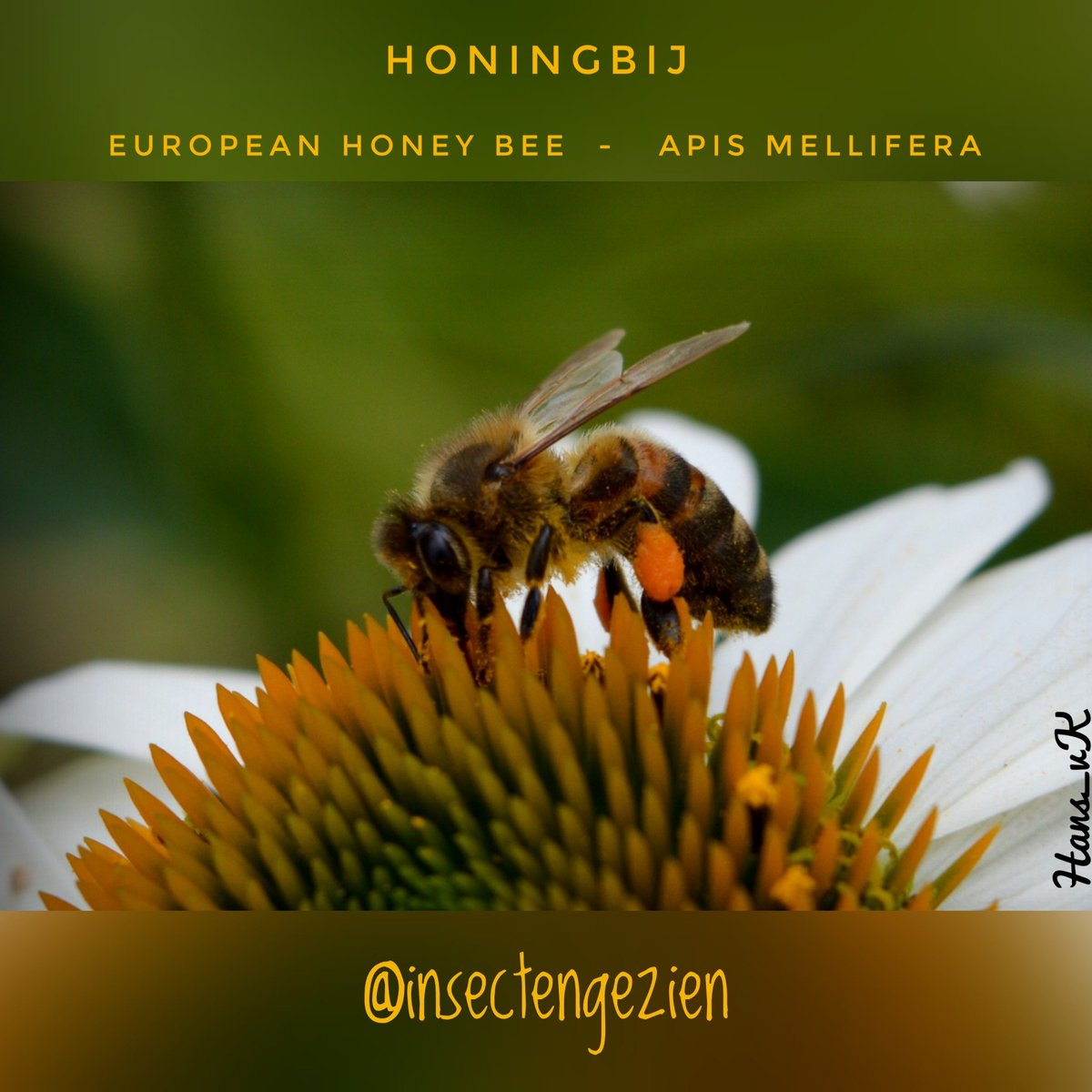 """@insectengezien  """"The European honey bee, found worldwide, is known for its delicious honey and painful sting""""   @waarneming @volgdenatuur #birds_bees_flowers_n_trees #honingbij #honeybee #insect<br>http://pic.twitter.com/AsGno1dvGo"""