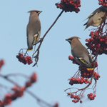 Image for the Tweet beginning: Part of the largest Waxwing