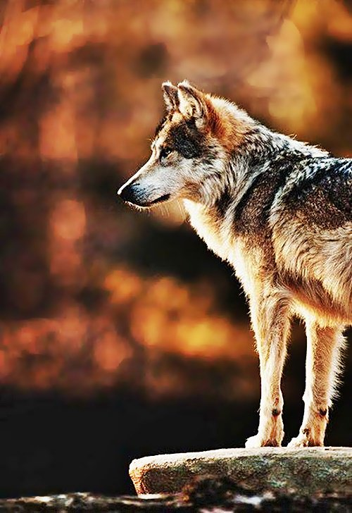 #FurryFriday:#Autumn #AutumnLeaves #AutumnColor #Animal #Animals #Wolf - Photo by Ms. foxtail