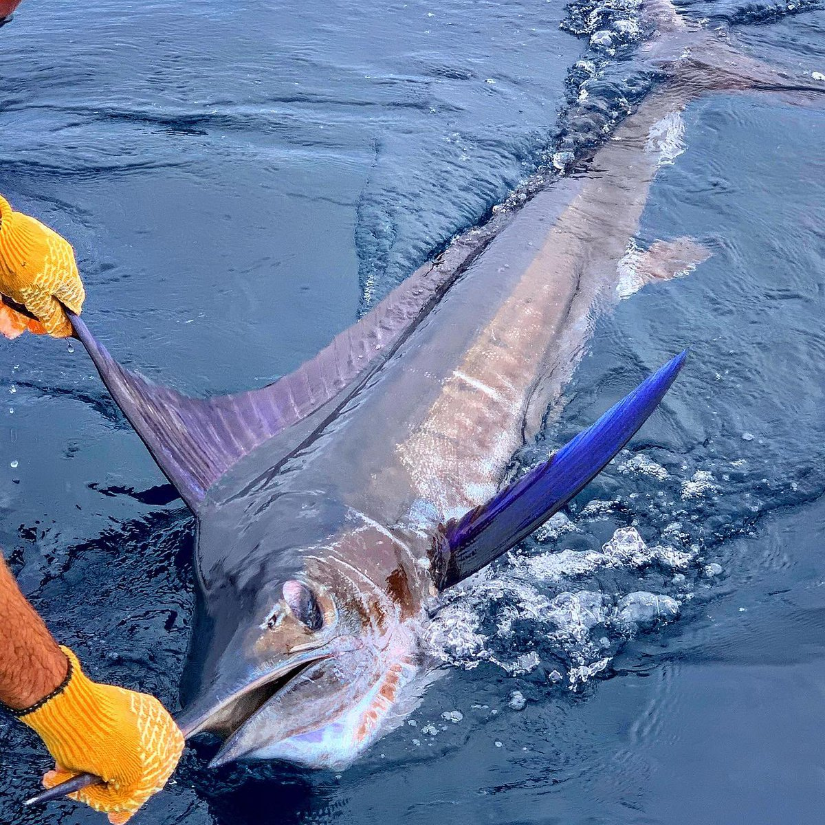Los Suenos, CR - Epic released 2 Striped Marlin and 1-3 on Sailfish.