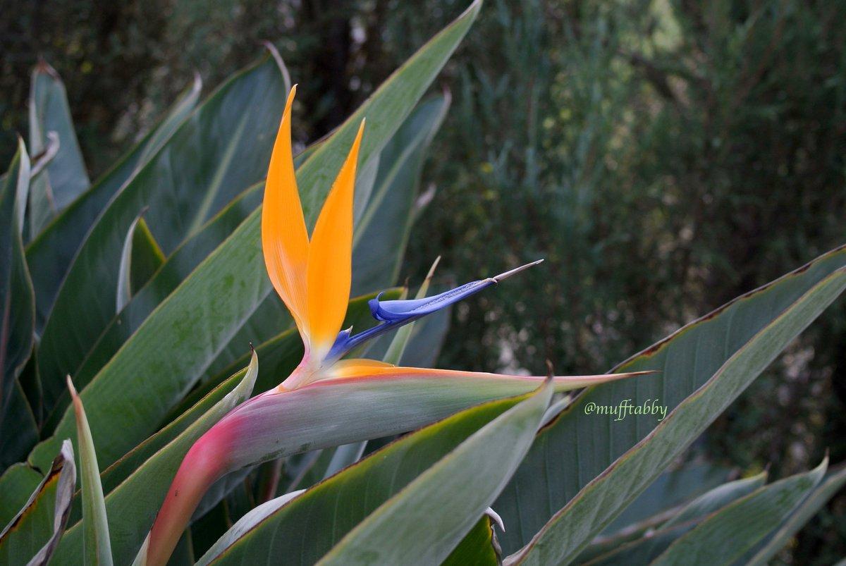こんばんは。 楽しい週末をお過ごしください。  この秋初めての #ストレリチア が咲きました。 これから春まで咲いてくれます。 #BirdOfParadise #極楽鳥花