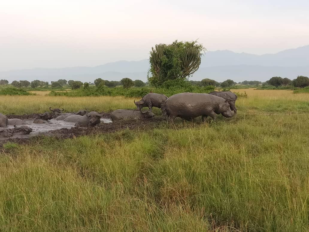 Today's morning game drive on the Kasenyi trails of Queen Elizabeth National Park. Book with us via wiljungletrails@gmail.com https://t.co/RBQfgd9g5j #Ugandasafaris #safarisUganda #Ugandasafari #safariUganda #Ugandatours #tourUganda #toursUganda #Ugandatour #visitUganda #Uganda https://t.co/EaL92a7GTs