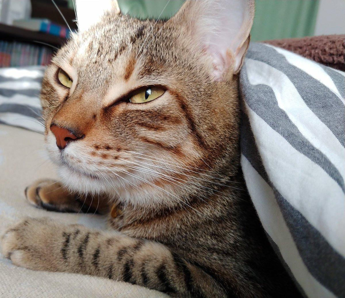 577日目。乳児と黒猫が寝たので自分も今のうちに昼寝しようとベッドに飛び込んだら、キジトラが近付いてきて肩のあたりを手でチョンチョン。布団をめくるとノソノソ入ってきて腕枕に寝そべりながら甘えん坊の仔猫のように手でフミフミ、尻尾を口元に持ってきてチュパチュパ。冬が!来た!!