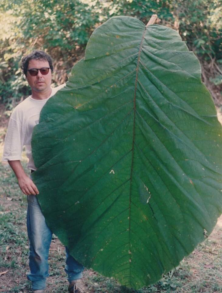 A new species of plant has been discovered in Brazil, & it has the largest leaves of any plant! It's called Coccoloba gigantifolia & scientists are already working on its conservation as its native range is currently being cleared for development.(Photo: C Ferreira & R Gribel)