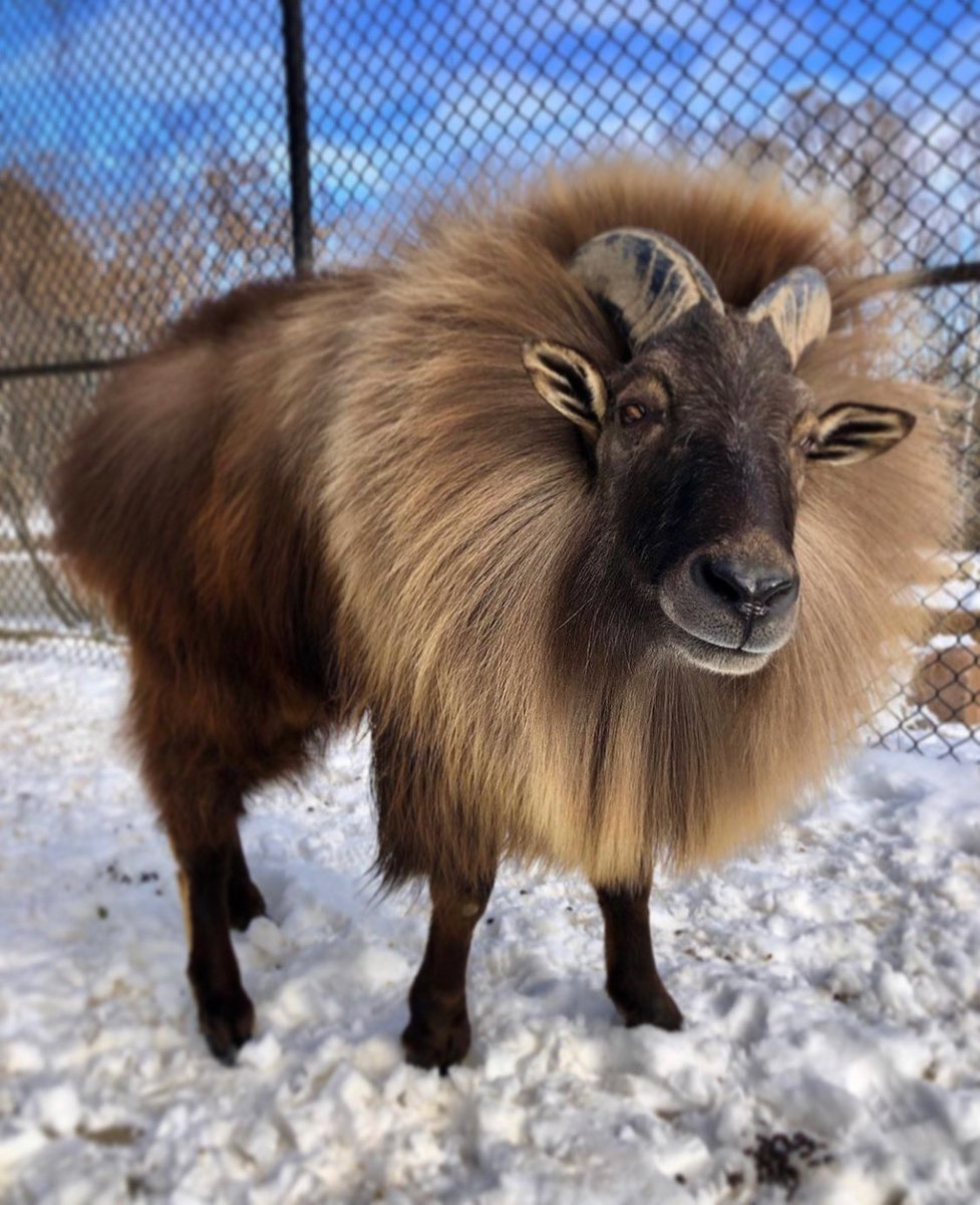 Canada's Next Tahr Model 🐐#himalayantahr https://t.co/Xskzf524VR