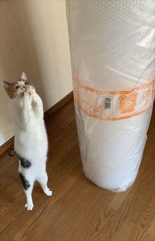 「嬉しい!」を体で表現😺巨大プチプチに歓喜の表情の猫ちゃん 「えっ! これを……私に……!?」 人間みたいなポーズがかわいい  @itm_nlabzoo