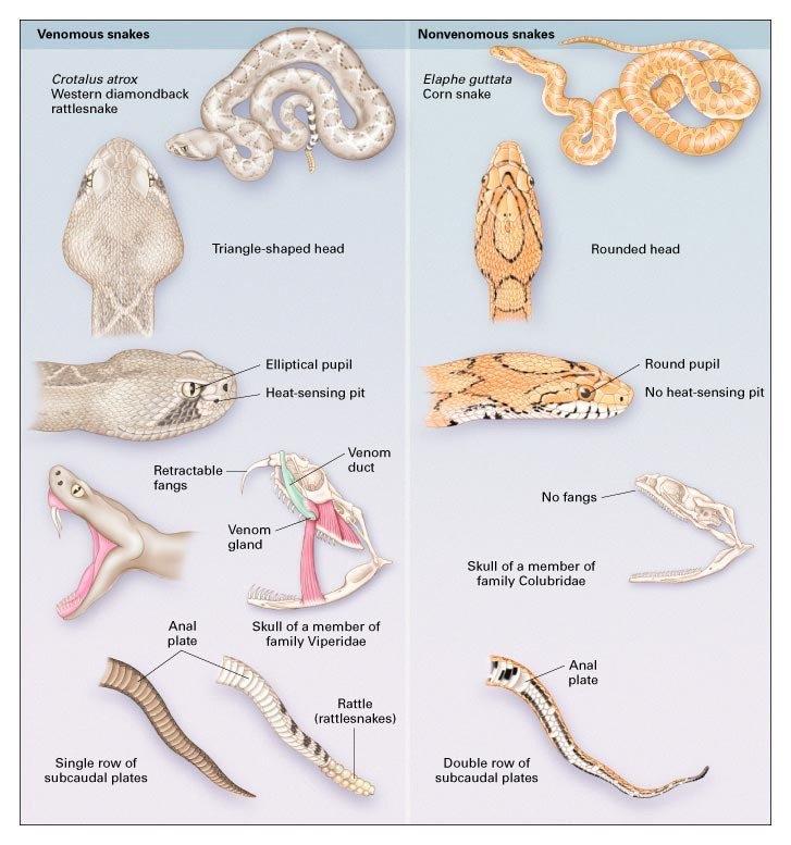 phân biệt rắn độc và rắn lành tính
