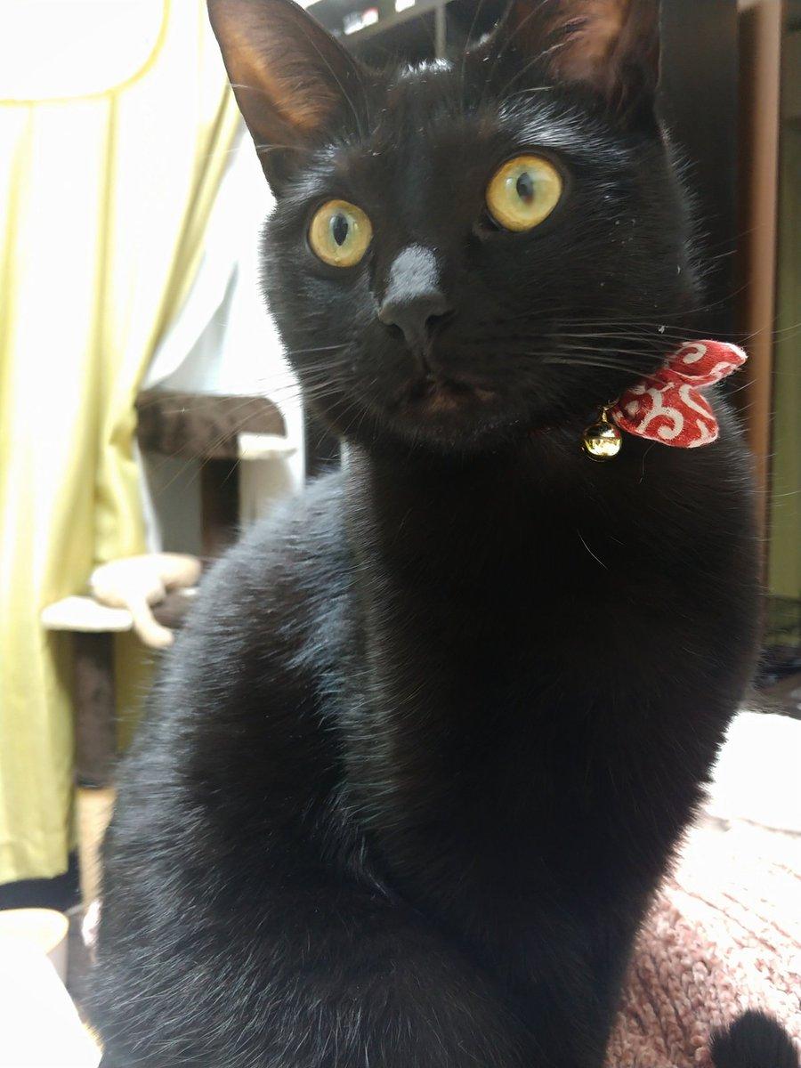578日目。天日干しされた洗濯物の山が大好きな黒猫。…というより、それを畳む人間の目の前で洗濯物に寝そべったり座ったりして寛ぐのが好き。なので、洗濯を畳もうとする→その上で寛ぐ黒猫が目に入る→「ちゅうもくされてる!!」の流れなのか退かしても退かしても中央に座する黒猫であった。