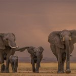 Image for the Tweet beginning: 🐘The story of elephants (and