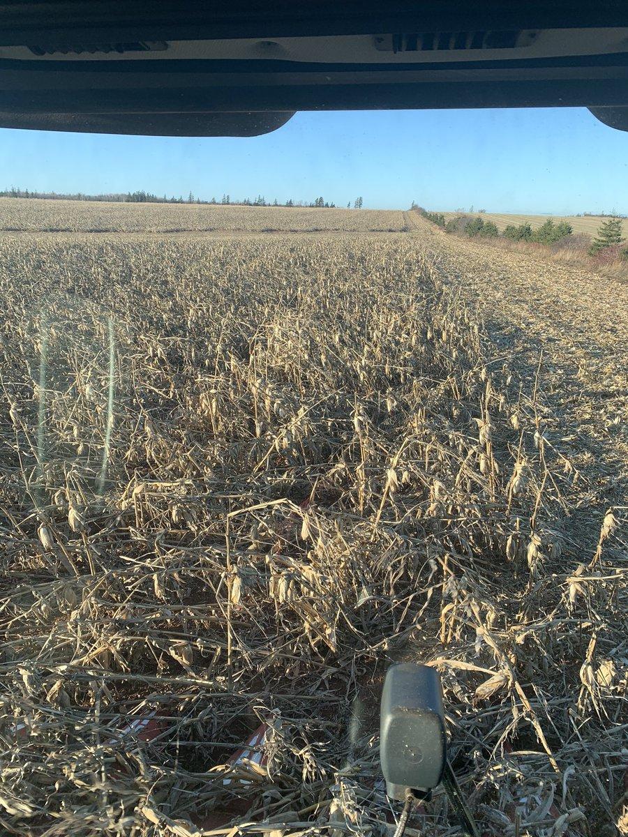 cutting some  lodged #corn Thanks to #hurricanedorian #peiag @ryanhamill11