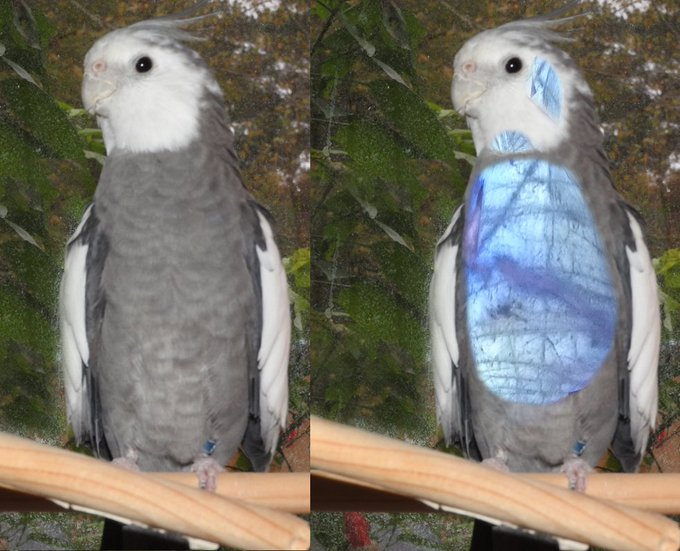 white-faced cockatiel photoshopped to show four-color vision enjoyed by a birb
