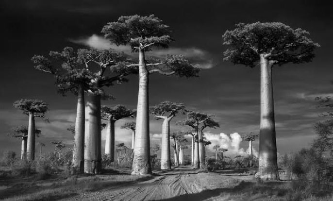 """Avenue of the Baobabs"", by  Beth Moon  #landscape #NaturePhotography #nature #travelpicworld #photooftheday #TwitterNatureCommunity #EarthCapture #blackwhite #blackandwhite #blackandwhitepics #blackandwhitephotography #bw #bn #bianc #photographer #EspinMc @EarthandClouds"