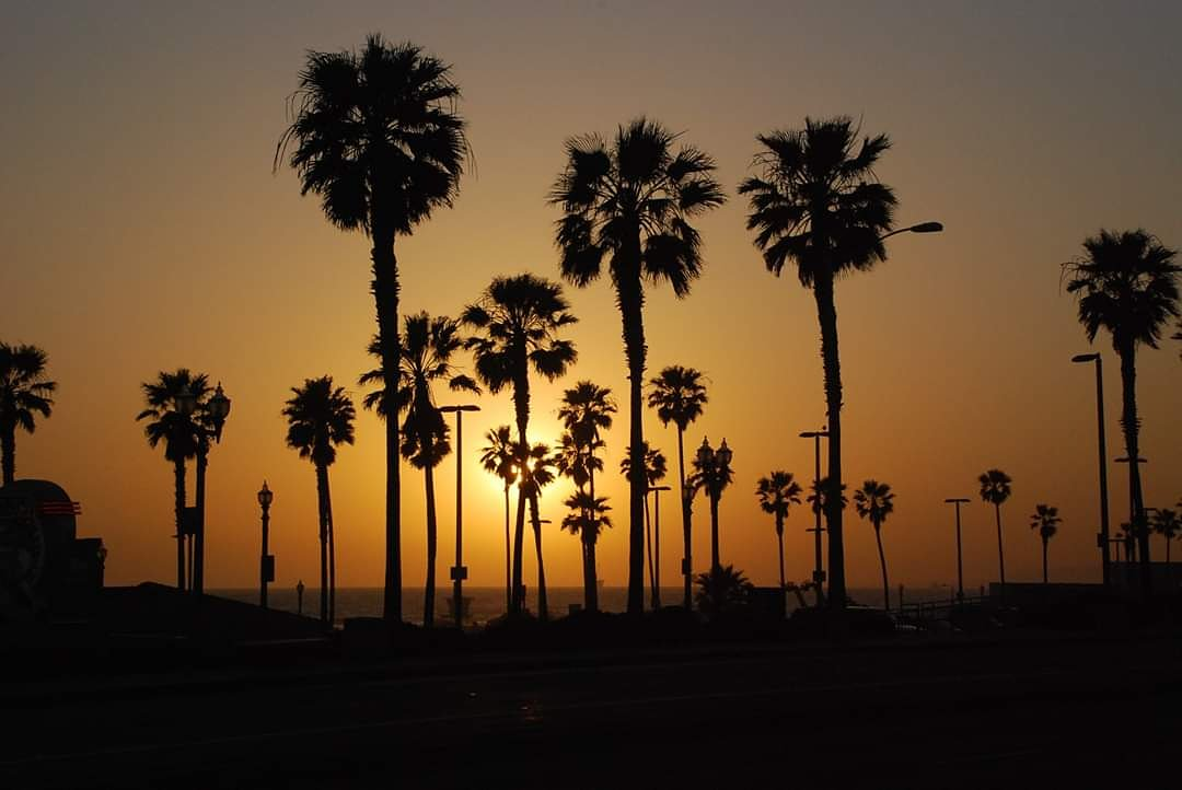 Sea of Palm TreesHuntington Beach, CA#naturephotography #sunsetphotography #huntingtonbeach #HB #theOC #orangecounty #OC #California #californiadreaming #travelphotography #palmtrees