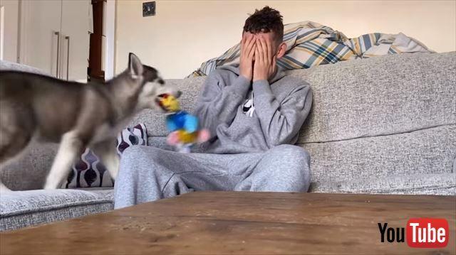 やさしい😭❤飼い主が泣いていたら、ワンコはどうする!? 泣きマネをする飼い主さんにおもちゃを持って駆け寄るワンコ -  @itm_nlabzoo