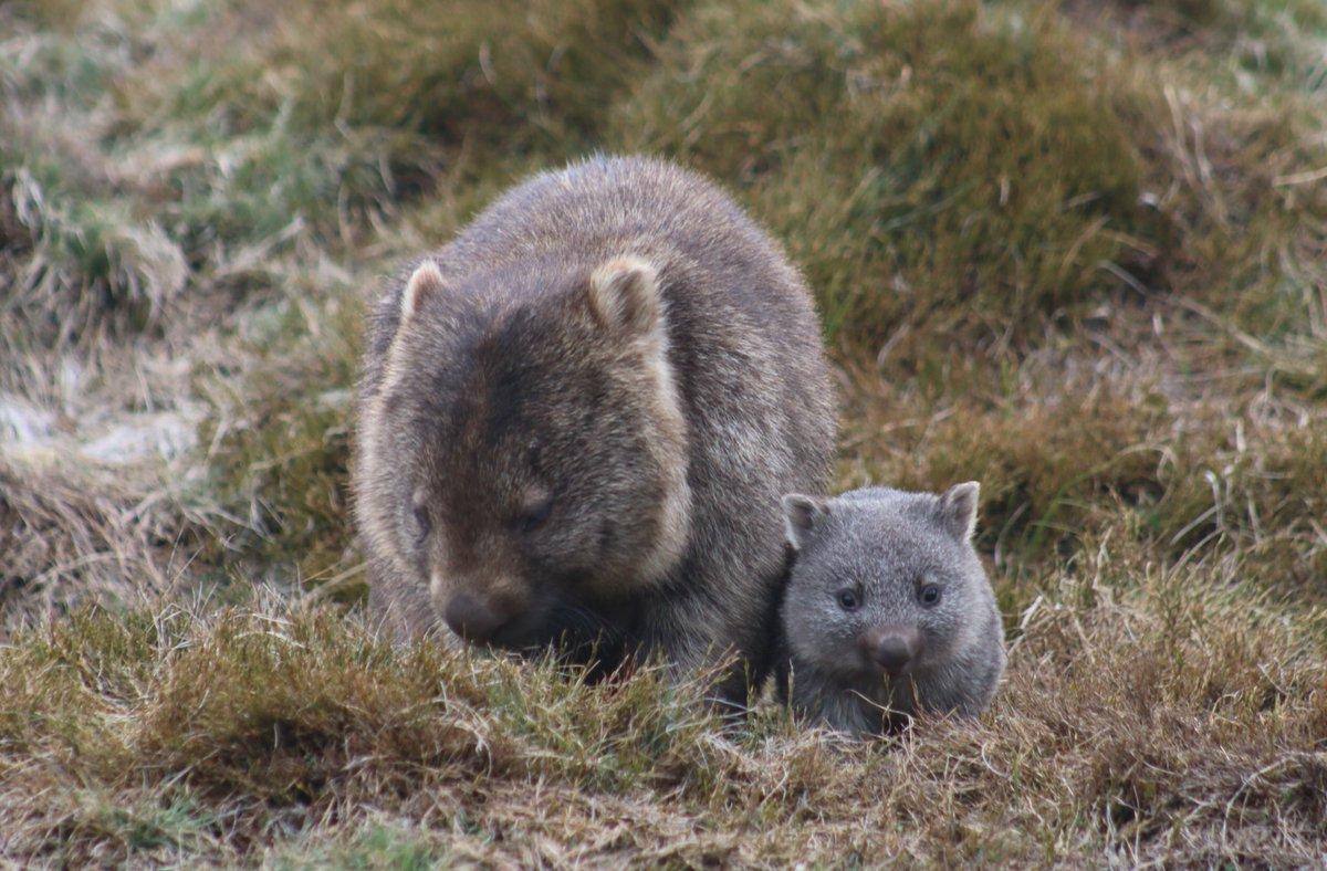 Common Wombat, Coarse