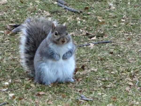 【リスは冬になると太る?】野生の動物にとって寒い冬は厳しい時期でリスにとっても例外ではありません。冬を越すためにリスは脂肪を蓄えようとするため冬になると丸っと太ったリスを見かけることができます。