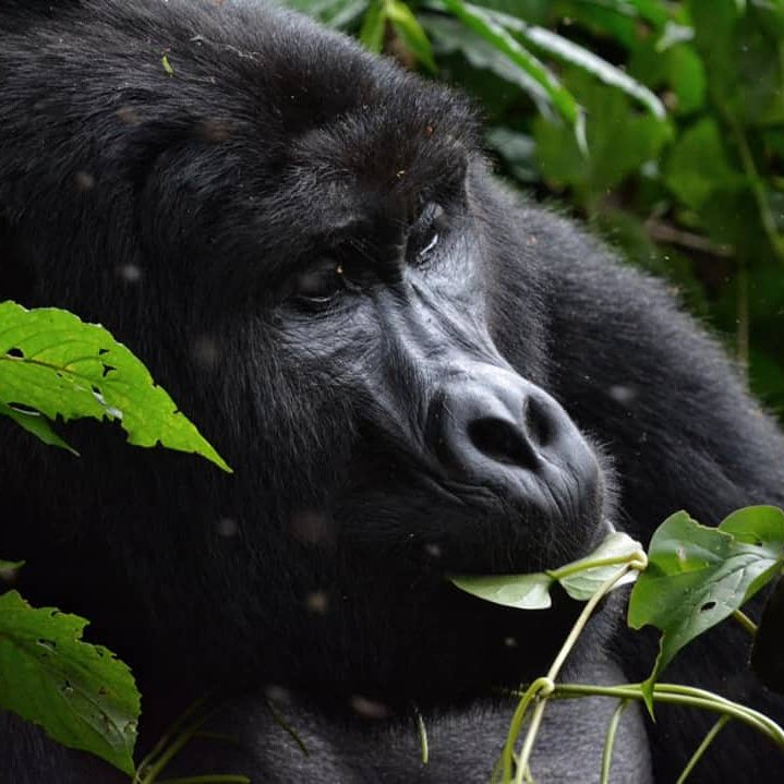 Book our 4 Days Gorilla Safari Rwanda Primate Tour which takes you for Mountain Gorilla trekking and golden monkey tracking tour in Rwanda's Volcanoes National Park. https://t.co/adLkWORYfm #RwandaGorillaSafari #RwandaGorillaTour #GorillaSafariRwanda #RwandaPrimateTour https://t.co/Hp8d0600rx