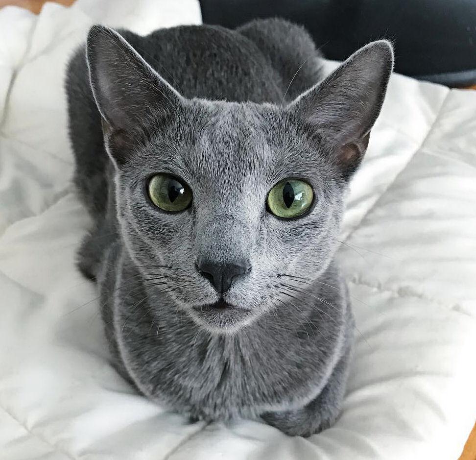 russian blue cat - 972×939