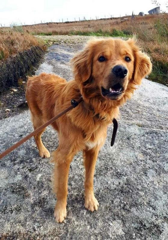 Cooper: I look like a Hollywood heartthrob but Im more of an action comedian I'd really do love a human to hang out with who'll help me learn good manners & play with me. If they had a secure garden in the country it'd be my very best dream #AdoptDontShop   https:// madra.ie/meet-the-dogs/ 726-cooper-retriever-1-year-old#rsdir-gallery   … <br>http://pic.twitter.com/qlz0QcLnyT