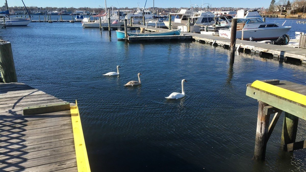 The marina hosted 3 feathery visitors recently!#slocumcovemarina #swans