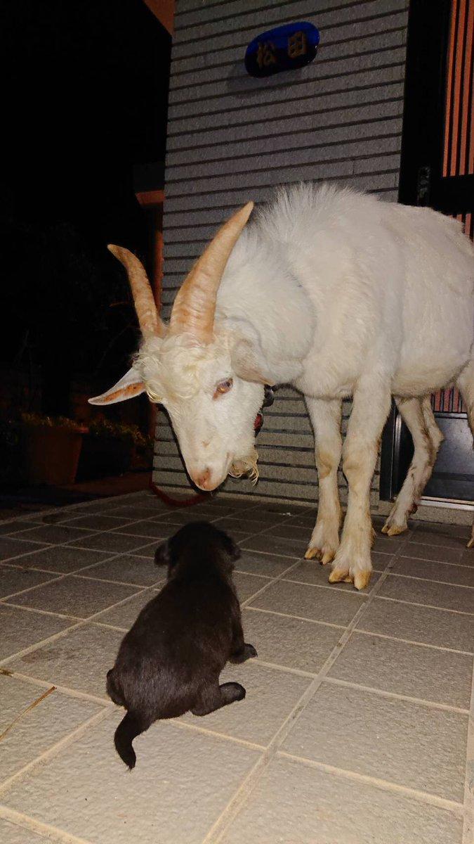 山羊飼うさんの投稿画像