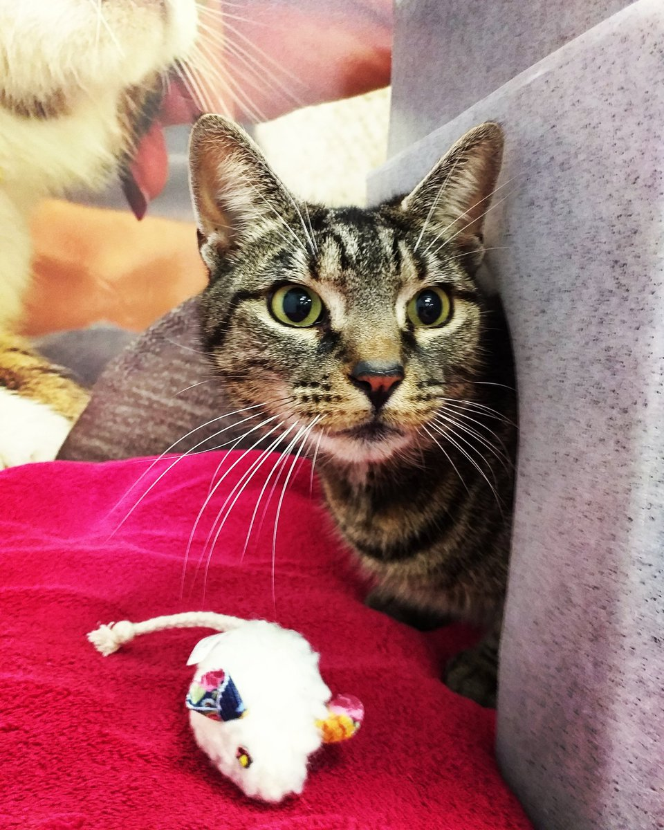 Ruby is our new tabby girl looking for a forever home  This 7 year old is full of love and enjoys a good cuddle  she can be homed with older children and prefers to be the only pet in the house so she can have all the attention on her  #tabbycats #adoptdontshop #cats<br>http://pic.twitter.com/oE0uilNxmL
