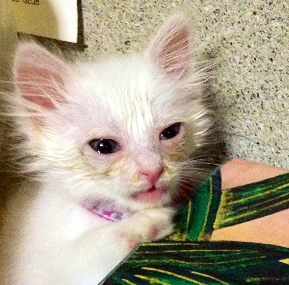 ①ネム♀ 7歳8カ月衰弱してカラスに狙われている所を父が保護、母は「捨ててこい」の一点張りでしたが私と父で説得しました。子猫の頃は写真撮影をためらうほどボロボロでしたが、立派なモフ毛クイーンへと変貌を遂げました。私の猫下僕人生の師。