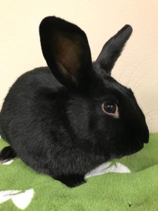 Louie is a young bunny rabbit from #Wenatchee, WA. http://www.petfinder.com/petdetail/46536160…pic.twitter.com/6tTuFjA3Gm