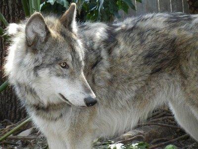 【オオカミの血をひくウルフドッグ】ウルフドッグはオオカミと犬を交配させた種でオオカミ本来の気性が強く認めた相手にしかなつきません。しかし一度認めた相手には一転して甘えん坊になるという可愛らしい一面を持ちます。