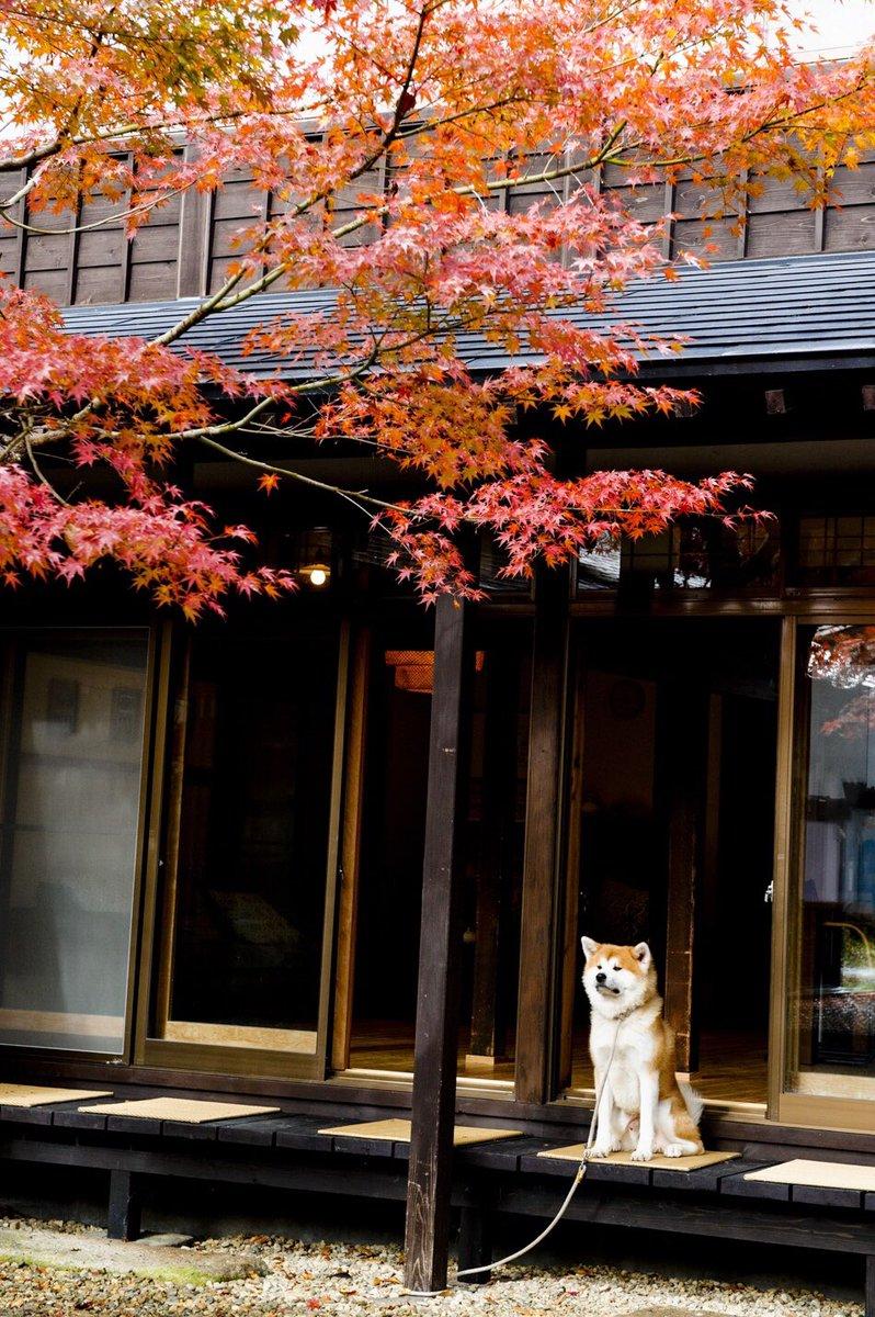 秋田犬のアカウントはこちら。やっぱ秋田犬やな。フォトバイジョン。