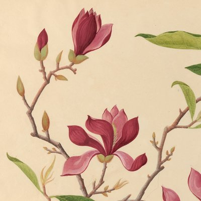 Have you seen our new @HarvardLibrary website of digitized original botanical illustrations? You should check out these beauties ASAP! #BotanicalIllustrations #ArchivalCollections #CURIOSity