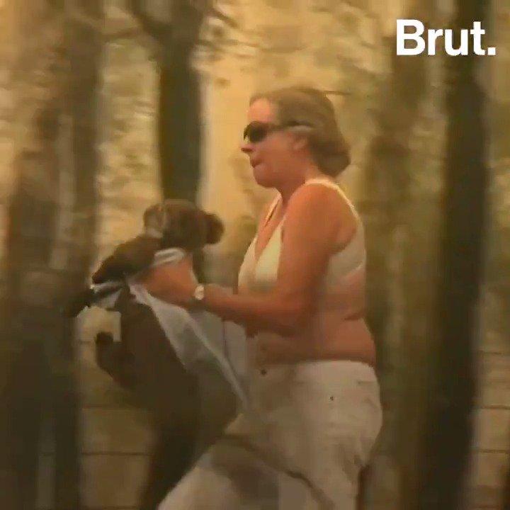 Ce koala a été sauvé des flammes grâce au courage de cette habitante. Ils sont déjà des centaines à avoir péri dans les incendies qui ravagent lAustralie.
