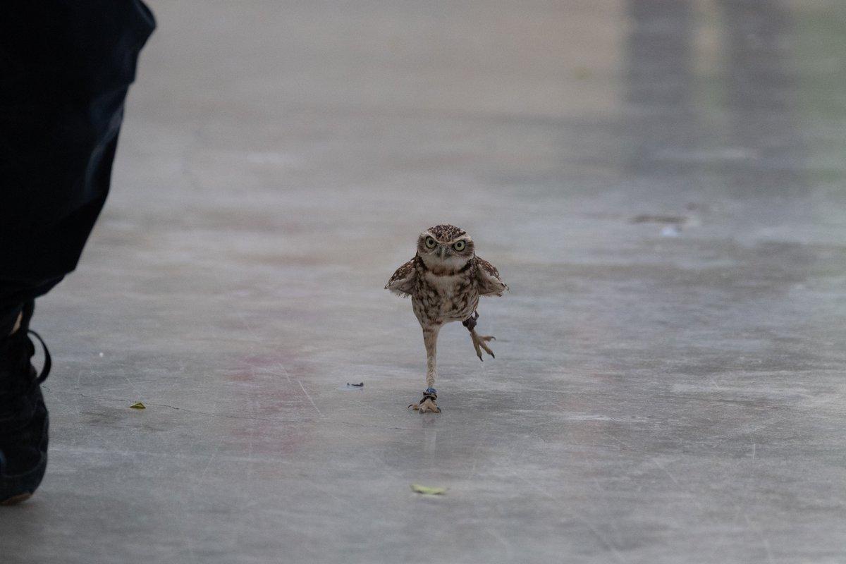 一生懸命走るアナホリフクロウがとても可愛い#掛川花鳥園