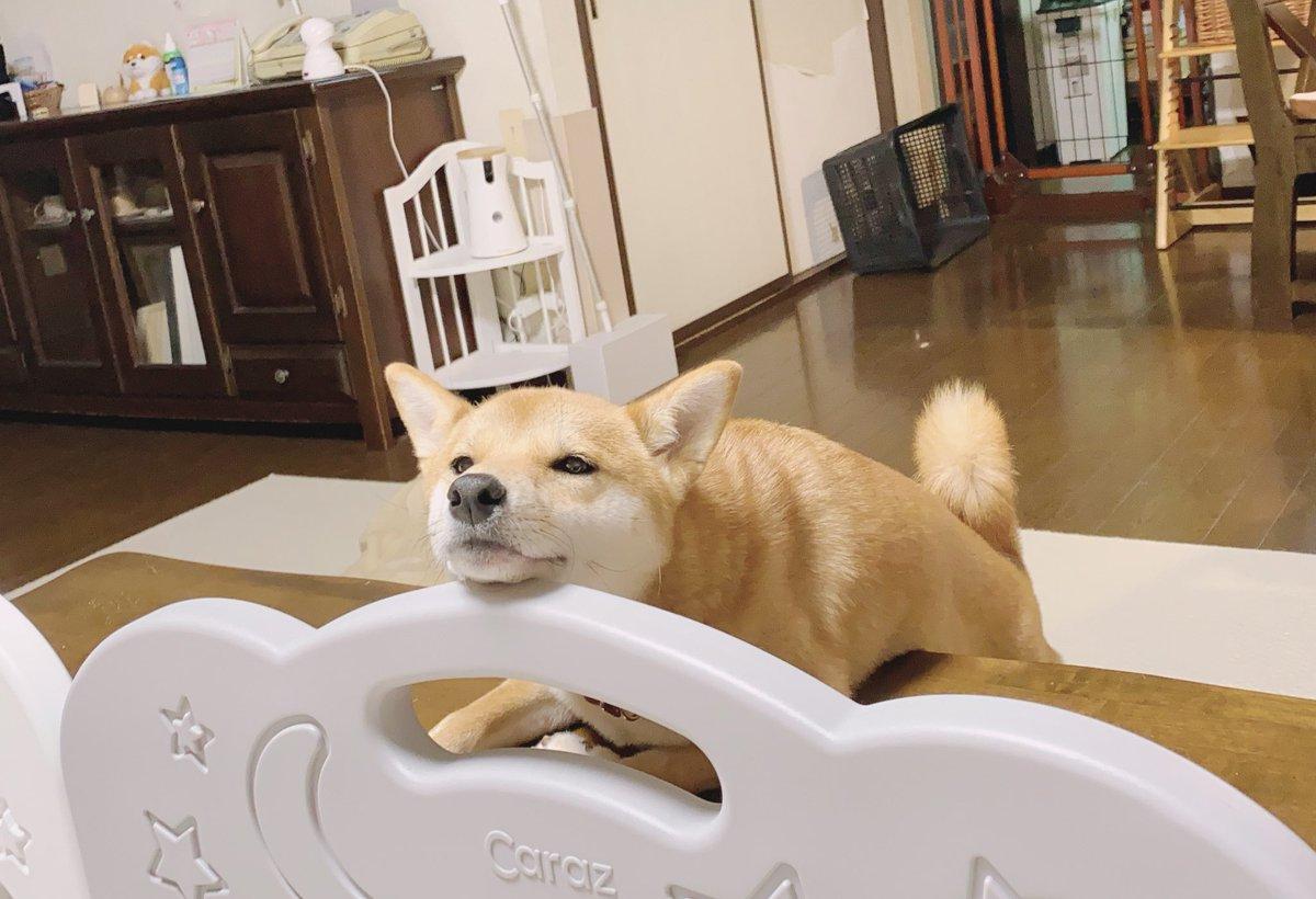 娘のおむつ交換のためベビーサークルに入ると、僕もいれて〜とサークル越しから視線を送る柴犬さんだが、交換し終わった後に見るとだいたいそのまま寝てしまっている