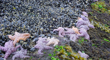 Day 2 of #20YearsofPISCO. PISCO has studied the nearshore ecosystems of the CA Current LME since 1999 – this includes the Rocky Intertidal, Rocky Reefs and Kelp Forests and Nearshore Physical Oceanography. #PISCOScience #PISCO<br>http://pic.twitter.com/mRt5MH4wrm