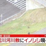 【なぜここに?】東京都足立区で野生のイノシシが現れる…