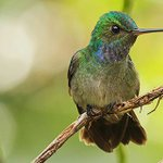 Image for the Tweet beginning: This is a Charming Hummingbird.
