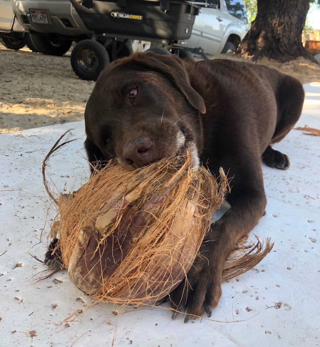 This is Jackson. She runs outside every time she hears a coconut fall off the tree. They're her favorite thing in the world. 13/10