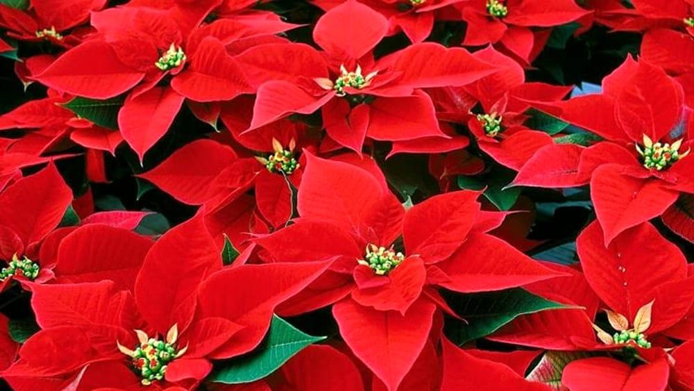 Stelle di Natale in vendita nelle piazze: un grand...