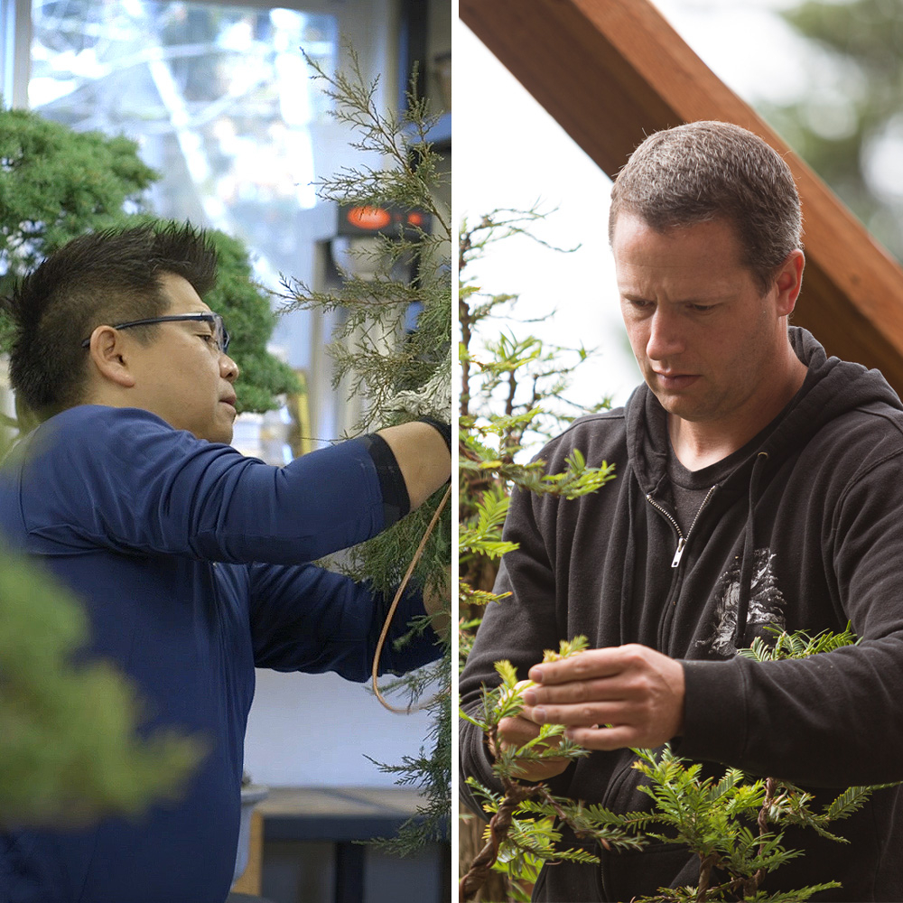 This week on #mirailive, witness history as Ryan Neil and Masayuki Fujikawa collaborate to bring rise to a superb, rare iteration of a yamadori ponderosa pine. Tuesday 12/3, 6pm PST, live.bonsaimirai.com. Start your free trial of Mirai Live to watch.