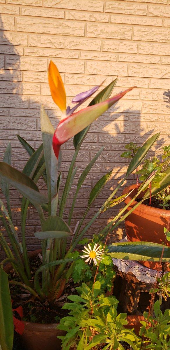 朝、水まきに行ったら…っ❗️ 極楽鳥花が咲いてたっ😍💗 形が違うから、今日か明日にはキチンとした花の形になるかなっ?😊💕  #ガーデニング #極楽鳥花 #ストレチア