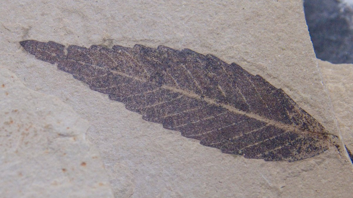 A small well preserved fossil leaf, likely willow or sumac, possibly Eocene, Green River formation. We should all look so good at 50 million! http://www.StudioMineralia.com  @StudioMineralia #earth #artgallery #macro #nature #fossil #geology #fossiladdict #fossillover #stone #Paleoartpic.twitter.com/JkwgBzYd3d