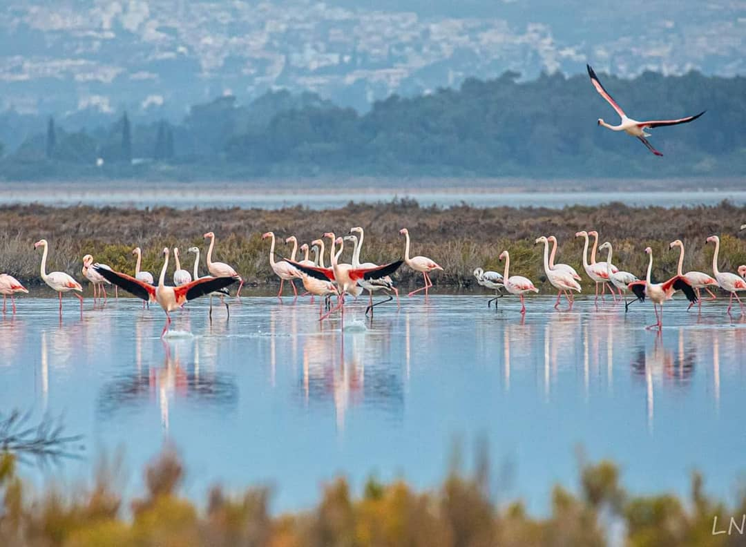 #Flamingos flock to #Cyprus every year looking forward to our ideal mild winter weather conditions, have you visited our island during winter before or are you planning to do so this year? #visitcyprus #Larnaka #Lemesos 📷 Leonid Nesterov
