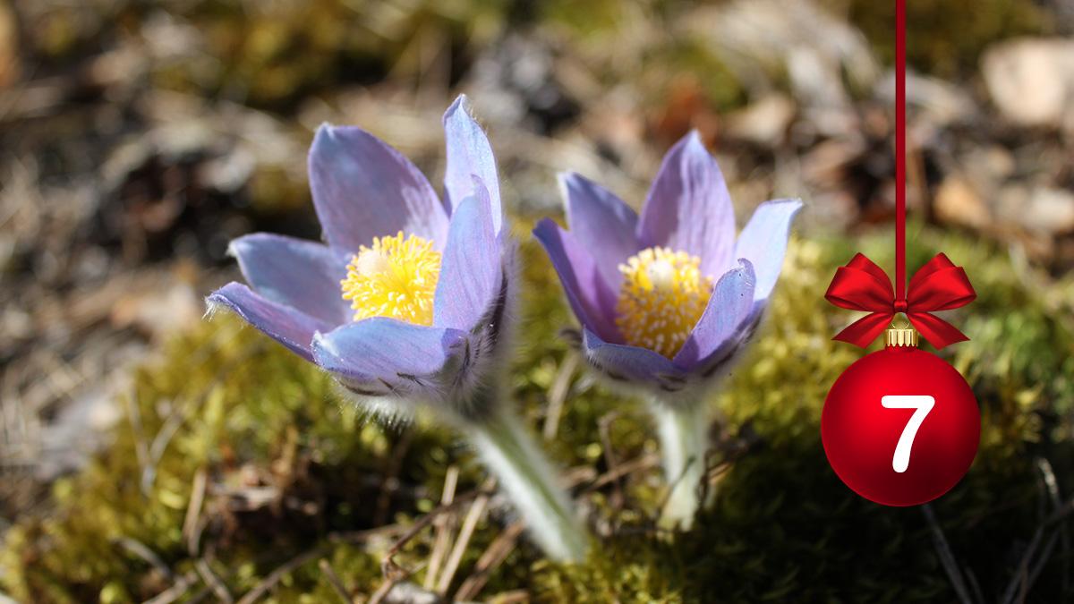#HELYnteri luukku 7: Kuvassa näkyvä kukka on    A) Jouluruusu B) Sinivuokko C) Hämeen kylmänkukka  Kommentoi oikea vastaus! 🌺 https://t.co/VVyxd6CPhy